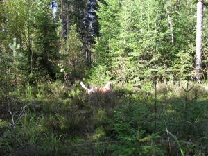 Mosse hunting