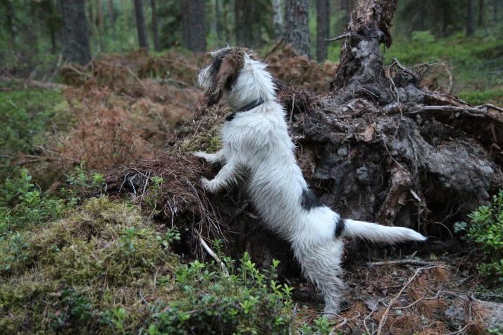 Lempi. Metsässä on mielenkiintoista.  Photo: S-L.Y.