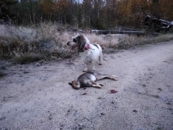 Day before Antti shoot hare to the Lempi. We find next day Deer to hunt.